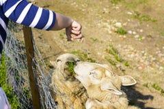 Подавать овца от его руки Стоковое Изображение RF