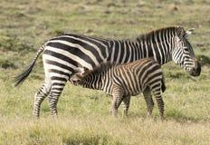 Подавать осленка зебры Стоковое фото RF