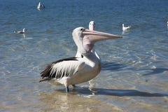 Подавать пеликана стоковое изображение