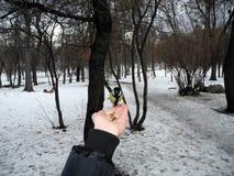 Подавать синица птицы от руки Стоковые Фотографии RF