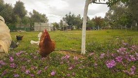 Подавать цыплята и птицы птицы на курятнике акции видеоматериалы