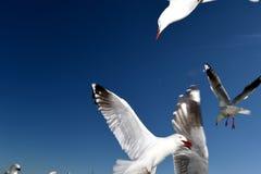 Подавать Seasgulls Стоковая Фотография
