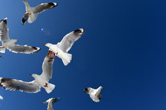Подавать Seasgulls Стоковое Изображение