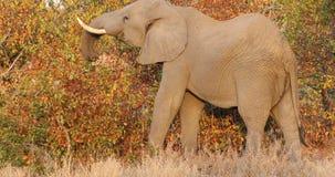 Подавая африканский слон сток-видео