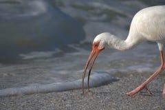 подавая белизна ibis стоковая фотография rf