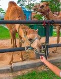 Подавая верблюд в ферме, Таиланде Стоковое Изображение