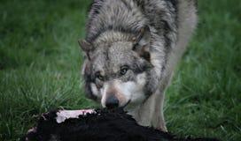 подавая волк Стоковая Фотография
