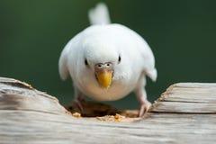 Подавая волнистый попугайчик Стоковая Фотография RF