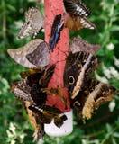 Подавая гигантские бабочки сыча Стоковая Фотография