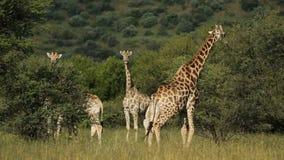 Подавая жирафы акции видеоматериалы