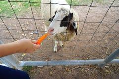 Подавая коза Стоковое фото RF