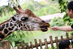 Подавая моркови жирафа в зоопарке Стоковые Фотографии RF