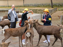 Подавая олени, Nara, Япония стоковые фотографии rf