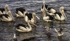 Подавая пеликаны Стоковая Фотография RF