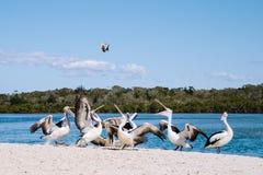 Подавая пеликаны Стоковые Изображения RF
