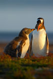 Подавая сцена Еда молодого пингвина gentoo beging около взрослого пингвина gentoo, Falkland Пингвины в траве Молодое gentoo с PA Стоковое фото RF