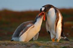 Подавая сцена, сцена живой природы от природы Еда молодого пингвина gentoo beging около взрослого пингвина gentoo, Фолклендских о Стоковое Изображение RF