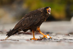 Подавая сцена Caracara Strieted хищных птиц, сидя внутри на утесе, Фолклендских островах, Аргентине Поведение птицы Caracara птиц Стоковые Изображения