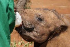 Подавая слон младенца Стоковые Фотографии RF