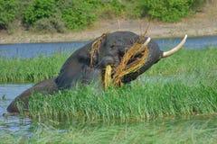 Подавая слон Стоковое Фото