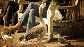 Подавая утки в Лондоне Стоковые Фото