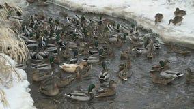 Подавая утки и селезни в заводи в зиме акции видеоматериалы