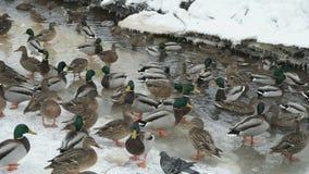 Подавая утки и селезни в красной заводи в зиме видеоматериал