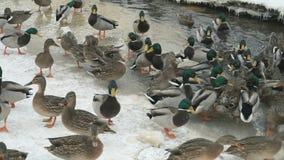 Подавая утки и селезни в красной заводи в зиме акции видеоматериалы