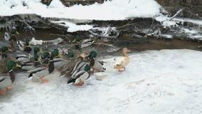 Подавая утки и селезни в красной заводи в зиме сток-видео
