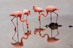Подавая фламинго Стоковые Изображения RF