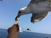 Подавая чайки Стоковое Фото