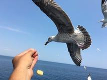 Подавая чайки Стоковая Фотография RF