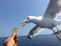 Подавая чайки Стоковые Фотографии RF