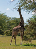 подавая giraffe Стоковые Изображения RF