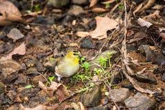 Подавая goldfinch стоковое фото
