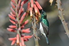 подавая sunbird Стоковая Фотография RF