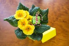 Подарок зеленого цвета цветка первоцвета сверху Стоковая Фотография RF