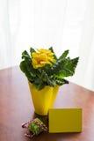 Подарок зеленого цвета цветка первоцвета Стоковое Изображение RF