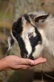 Подача вручную человека еда козы ребенк Стоковые Изображения