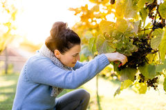 Подборщик виноградины на виноградинах рудоразборки работы Стоковая Фотография