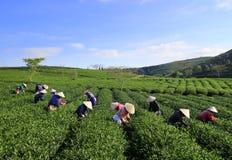 Подборщик чая фермера толпы въетнамский на плантации Стоковые Фотографии RF