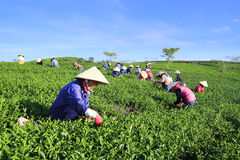 Подборщик чая фермера толпы въетнамский на плантации Стоковое фото RF