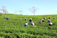 Подборщик чая фермера толпы въетнамский на плантации Стоковая Фотография