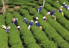 Подборщик чая фермера толпы въетнамский на плантации Стоковое Изображение RF