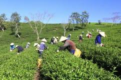 Подборщик чая фермера толпы въетнамский на плантации Стоковое Фото