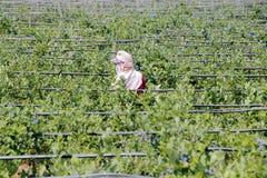 Подборщик ягоды Стоковое фото RF