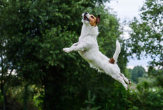Подвижность собаки: терьер скача и летая высоко Стоковое фото RF