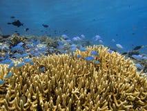Подводная колония коралла на рифе Pulau Moyo, море Индонезии Flores Стоковое Изображение