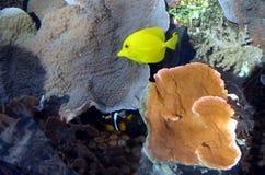 Подводная съемка тропических желтых рыб Стоковая Фотография