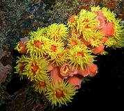 Подводное желтое оранжевое anenome Стоковые Изображения RF